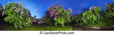 Lilacs in Kiev - In May, Kyiv, Ukraine, blooming lilacs in...