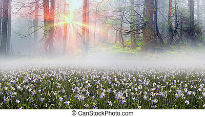 Daffodils at sunrise - Among the background of mountains and...