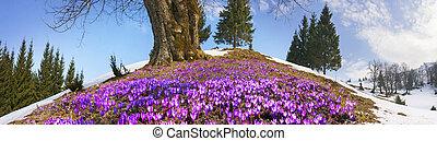 Snow flowers - Crocuses - Saffron Geyfelya- first spring...