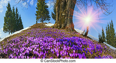 Snow flowers - Crocuses - Saffron Geyfelya- first spring...