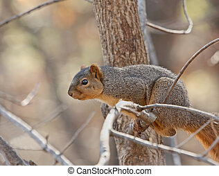 Fox Squirrel Sciurus niger - Fox squirrel Sciurus niger in a...