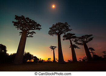 Madagascar - Baobab trees moon and bright sunset sky...