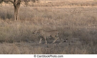 Cheetah overlooking Serengeti plain - Cheetah overlooking...