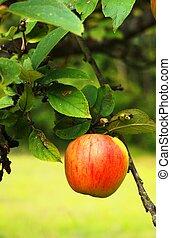 pomme fruit rcolte ferme