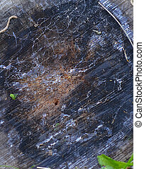 wood texture of an apple tree - picture of a wood texture of...