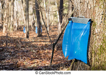 Maple Syrup Tapping in the Spring - Tapping maple trees in...