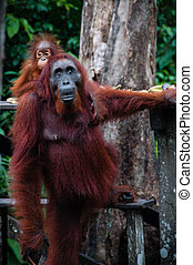 Standing Orang Utan with Baby in Borneo Indonesia - Standing...