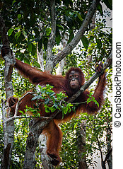 Orang Utan sitting on a tree in Borneo Indonesia - Orang...