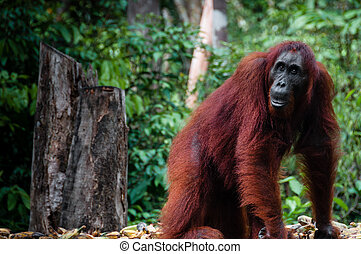 Female Orang Utan in Borneo Indonesia - Orang Utan seen in...