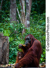 Sitting Orang Utan with Baby in Borneo Indonesia - Sitting...