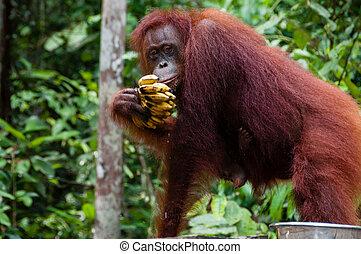 Orang Utan eating Bananas in Borneo Indonesia - Orang Utan...