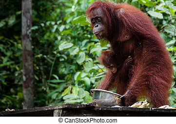 Orang Utan eating in Borneo Indonesia - Orang Utan eating...