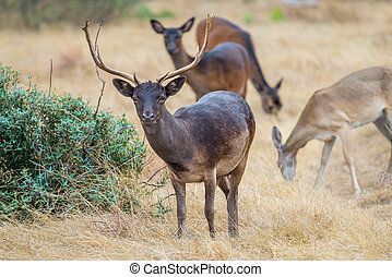 Wild Deer - Wild South Texas chocolate fallow deer buck