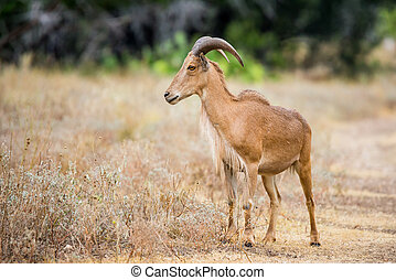 Wild Sheep - Texas wild Aoudad or Barbary sheep ram