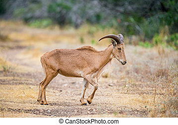 Aoudad Sheep - Texas wild Aoudad or Barbary sheep ewe