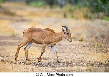 Young Sheep - Texas wild Aoudad or Barbary sheep lamb