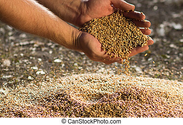 Hands of the grain Hil of wheat