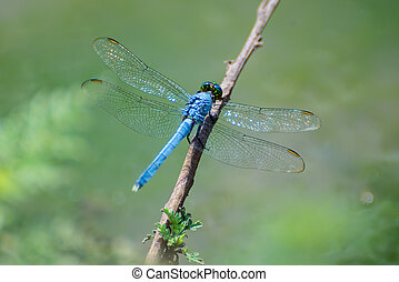 Blue Dragonfly - Texas Blue Dasher Dragonfly resting on a...