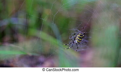 Spider, black and yellow, sits on the gossamer