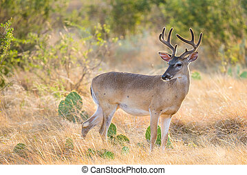 White-Tailed Deer - Wild South Texas Whitetail deer buck in...