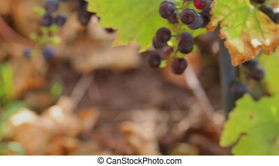 Wild grapes in the morning sun