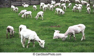 Sheared sheep grazing in a paddock in New Zealand.