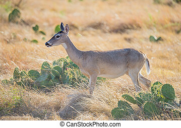 Wild Deer - Wild South Texas Whitetail deer doe standing to...