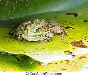 Green frog sitting on leaf - Green frog sitting on a water...