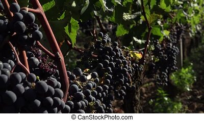 Red grapes ready to be harvested - old vines produce the...