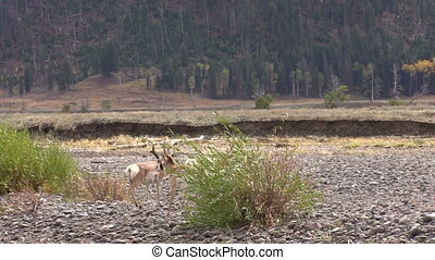 Pronghorn Herd in Rut