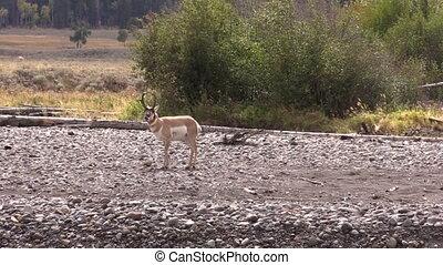 Pronghorn Buck - a nice pronghorn antelope buck