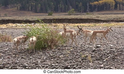 Pronghorn Herd in Rut - a herd of pronghorn antelope during...