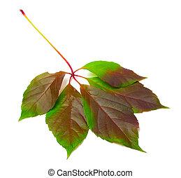 Multicolor virginia creeper leaf Parthenocissus quinquefolia...
