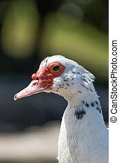 Muscovy duck portrait