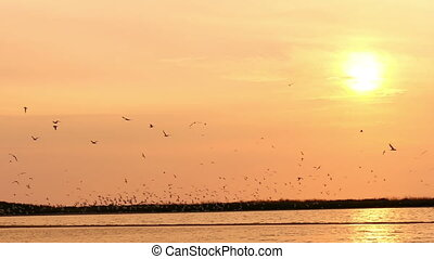 flock of seagulls in the sky at sunset over the river , slow...