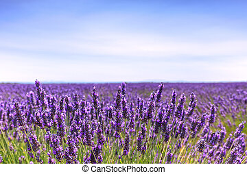 Lavender flower blooming fields horizon. Valensole Provence,...