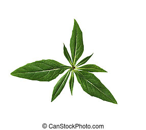 Evening Primrose Leaf - Everning Primrose Leaf isolated on...