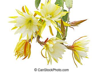 Epiphyllum Bundle - Bundle of yellow Epiphyllum flowers...