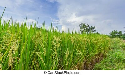 Landscape of rice farm in Thailand