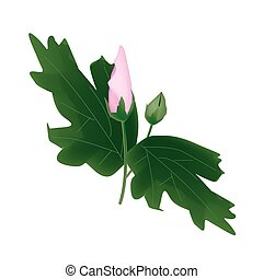 Fresh Pink Hibiscus Flower Bud on White Background