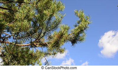 tops of pines against the blue sky - The tops of the pines...