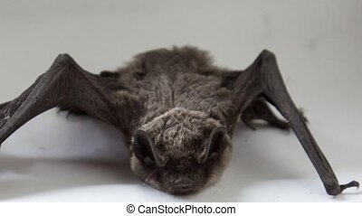Bat - bat on white background