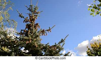 The tops of spruce against blue sky - The tops of spruce...