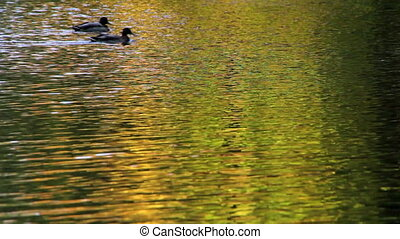 Ducks swim in a pond in an autumn P