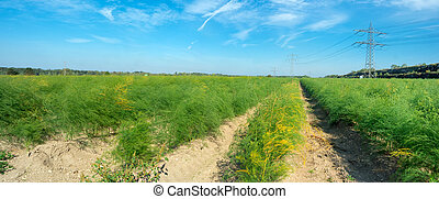 Panoramic view of the asparagus fields.