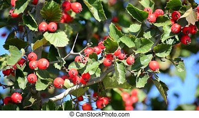 Mature nice red hawthorn berries - A Mature nice red...