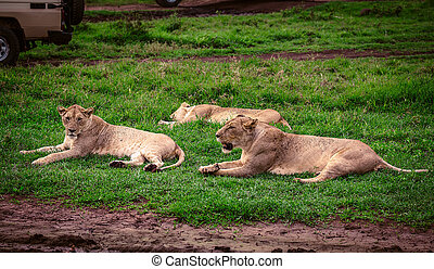 Lioness in Ngorongoro Conservative