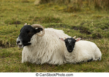 Black and White Sheep with lamb - Black and white sheep with...