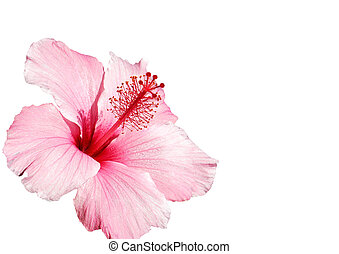 hibiscus pink flower isolated on white