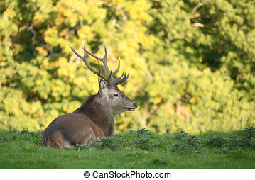 Red deer taking rest in shadow